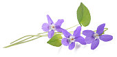 sweet violet, viola  isolated on white background