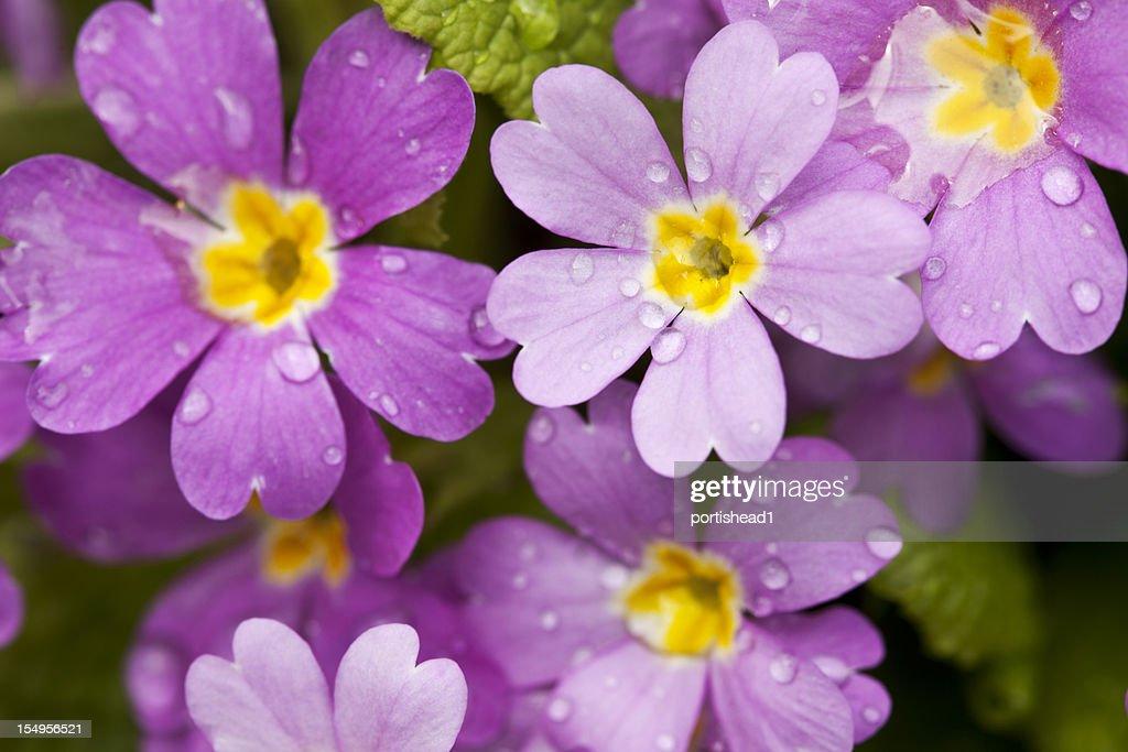 violet primula with raindrops