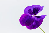 One violet pansy on white background