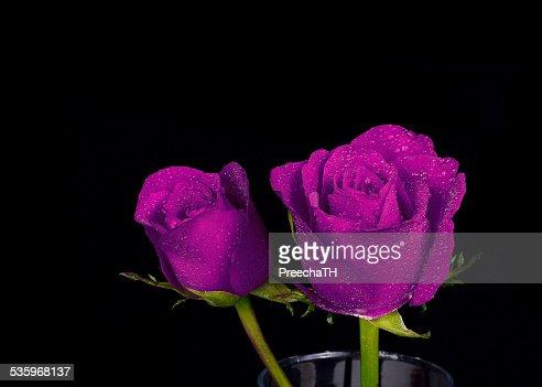 violet rose isolated on black background : Stock Photo