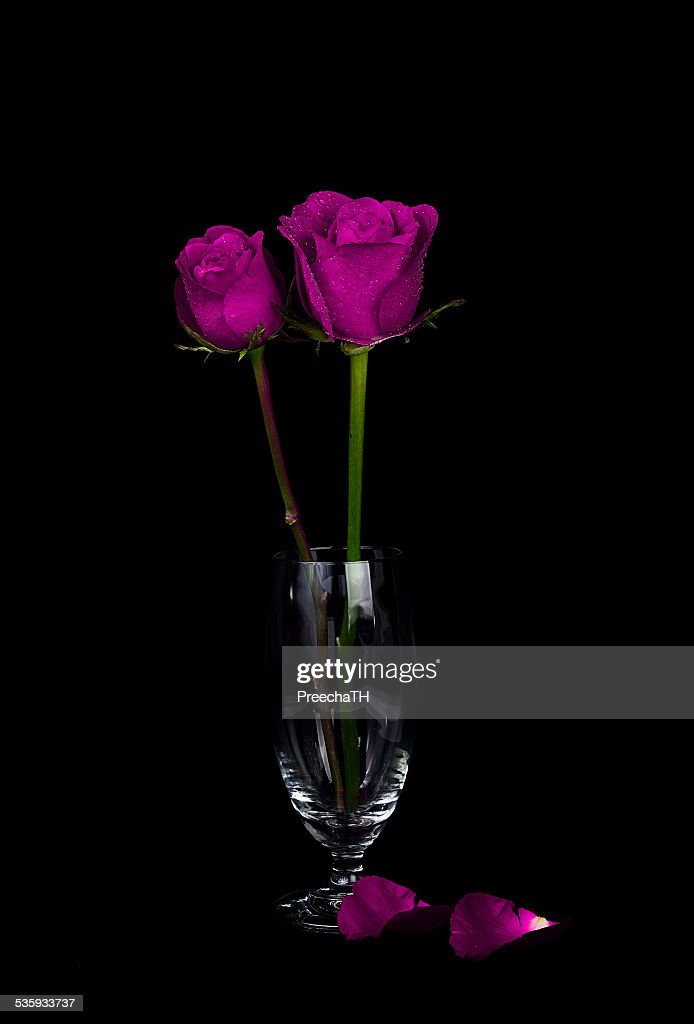 violet rose isolated on black : Stock Photo