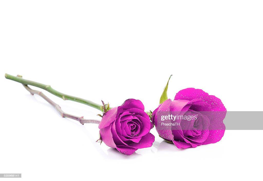 violet rose isolated on white background : Stock Photo