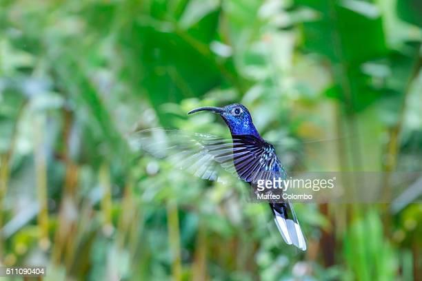 Violet Sabre-wing hummingbird flying, Costa Rica
