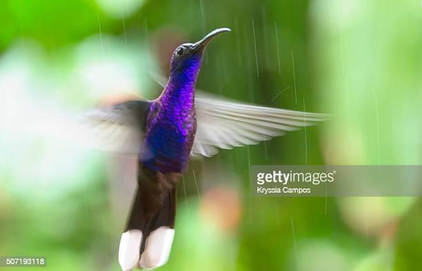 Violet Sabrewing Hummingbird (Campylopterus hemileucurus) in flight