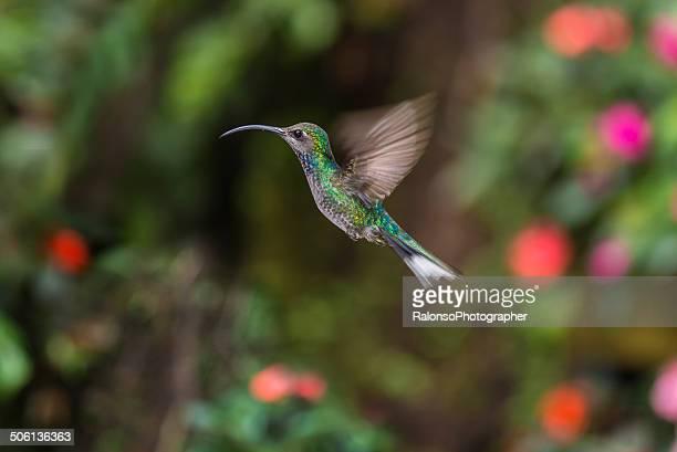 Violet Sabrewing Hummingbird (female)