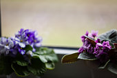 Violet saintpaulias flowers commonly known as african violets parma violets close up isolated