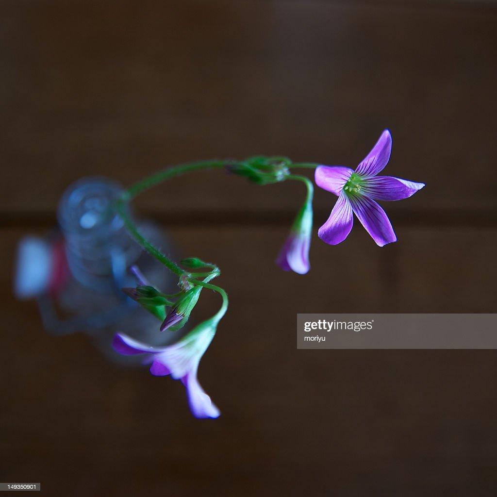 Violet wood-sorrel : Stock Photo