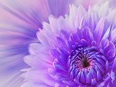 violet-pink blurred background. flower dahlia on the  blurred background. floral composition. card for the holiday.  Nature.