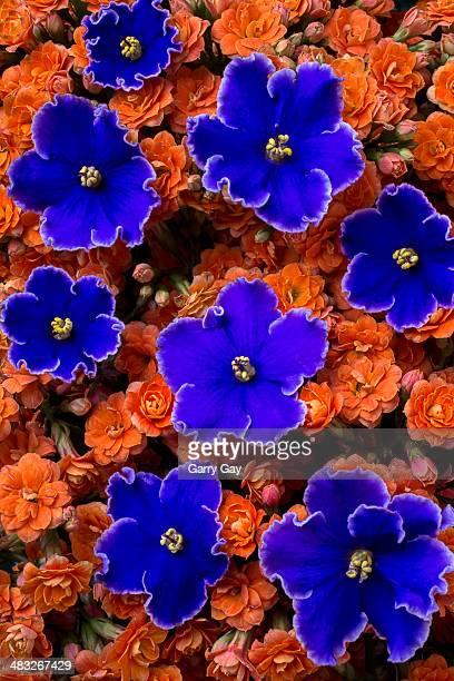 Violets and Kalanchoe