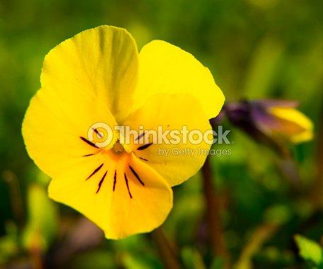 Fleurs Violettes Pensee Orange Arriereplan Photo Thinkstock