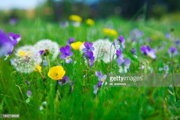 Violets on field