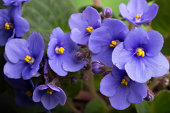 bunch of violets see my