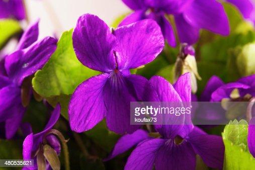 Violets : Stock Photo