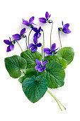 Violets and leaves, over white background.  More flowers: