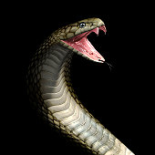 Cobra snake head and neck in a ready to attack position showing its tongue and fangs on a black background