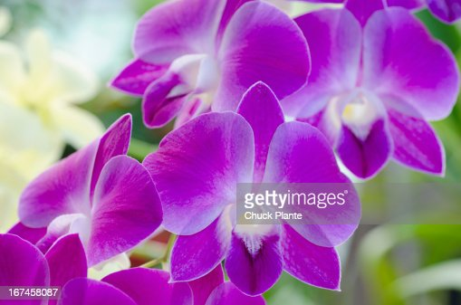 USA, US Virgin Islands, St John, Close up of orchid : Stock Photo