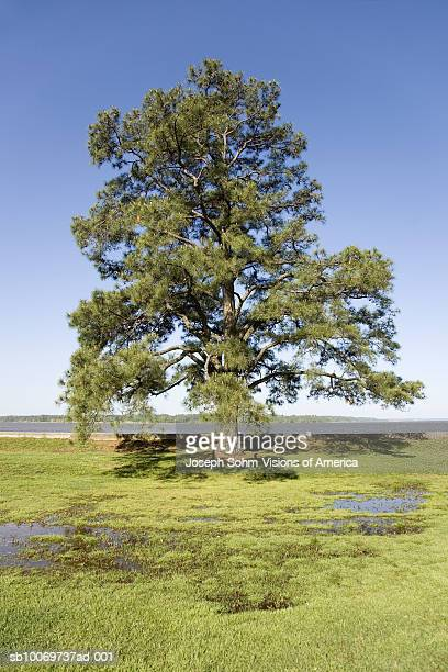 USA, Virginia, Jamestown, lone tree on James River shore