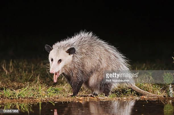 Virginia Opossum (Didelphis virginiana), adult at night drinking, Uvalde County, Hill Country, Texas, USA