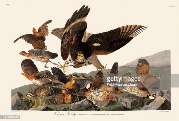 Virginia Partridge Plate 76 in John James Audubon's Birds of America late 1830s