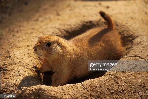 Virginia Roanoke Prairie Dog Digging Hole At Mill Mountain Zoo