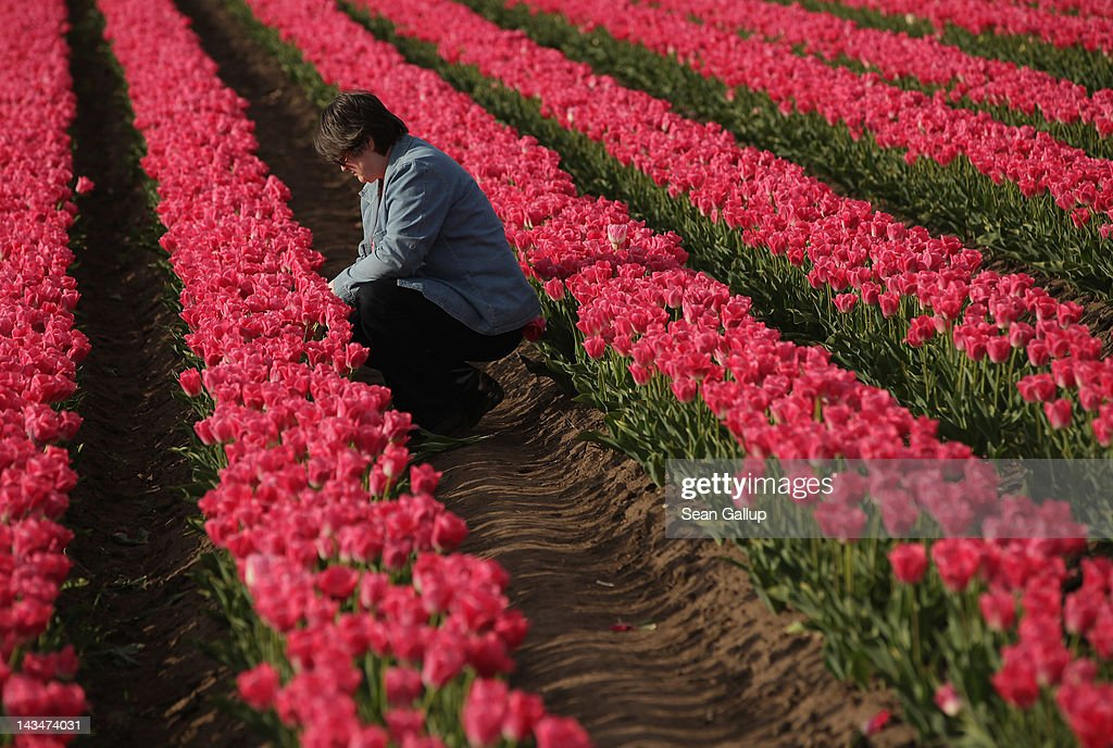 A visitor cuts tulips from a self-service tulip field on April 27, 2012 near Schwaneberg, Germany. Spring weather is finally taking hold in Germany with temperatures expected to reach 28 degrees Celsius by the weekend.