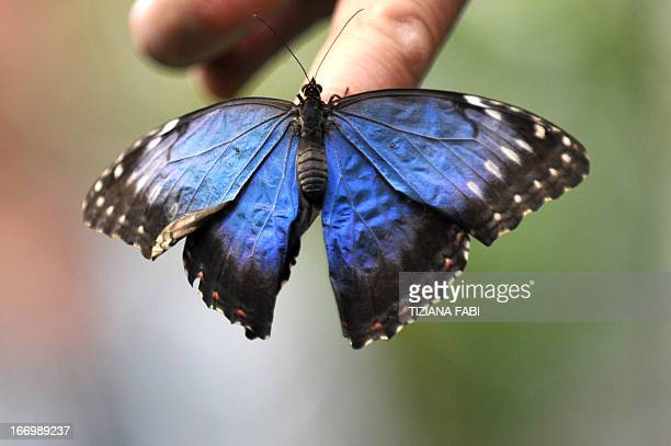 A visitor holds a butterfly in hand during the opening of a 80 squaremeter greenhouse ''Farfalle co' dedicated to butterflies at the bioparco zoo on...