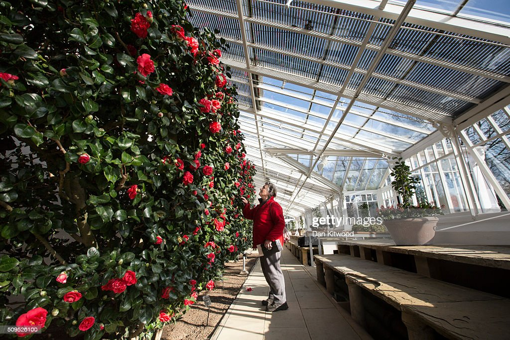 A visitor inspects Camellias in the conservatory at the Chiswick House Camellia Festival on February 11, 2016 in London, England. The Camellia Festival will take place in the Grade I listed conservatory from February 11 to March 23, 2016 and form part of the Chinese New Year celebrations. The 96 metre conservatory was designed by Samuel Ware for the Sixth Duke of Devonshire and completed in 1813.