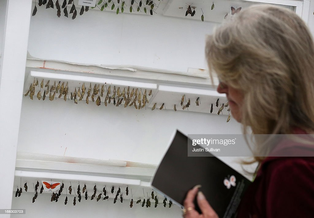 A visitor looks at a display of butterfly cocoons during the first day of the 'Butterflies and Blooms' exhibit at the Conservatory of Flowers in Golden Gate Park on May 8, 2013 in San Francisco, California. The popular 'Butterflies and Blooms' exhibit has returned to the Conservatory of Flowers and features more than 20 species of North American butterflies including Monarchs, Western Swallowtails and more.