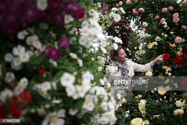 A visitor looks at a flower in a rose garden on the first public day of the Chelsea Flower Show on May 19 2015 in London England The show which has...