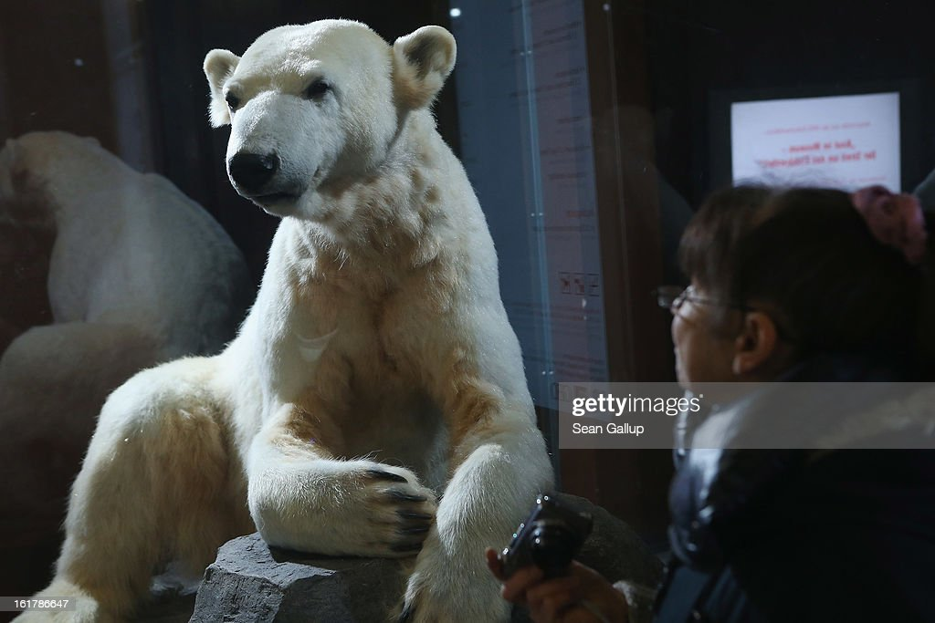 A visitor looks at a model of Knut the polar bear, that features Knut's original fur, on the first day it was displayed to the public at the Natural History Museum on February 16, 2013 in Berlin, Germany. Though Knut, the world-famous polar bear from the Berlin zoo abandoned by his mother and ultimately immortalized as a cartoon film character, stuffed toys, and more temporarily as a gummy bear, died two years ago, he will live on additionally as a partially-taxidermied specimen in the museum. Until March 15, the dermoplastic model of the bear will be on display before it joins the museum's archive, though visitors can see it once again as part of a permanent exhibition that begins in 2014.