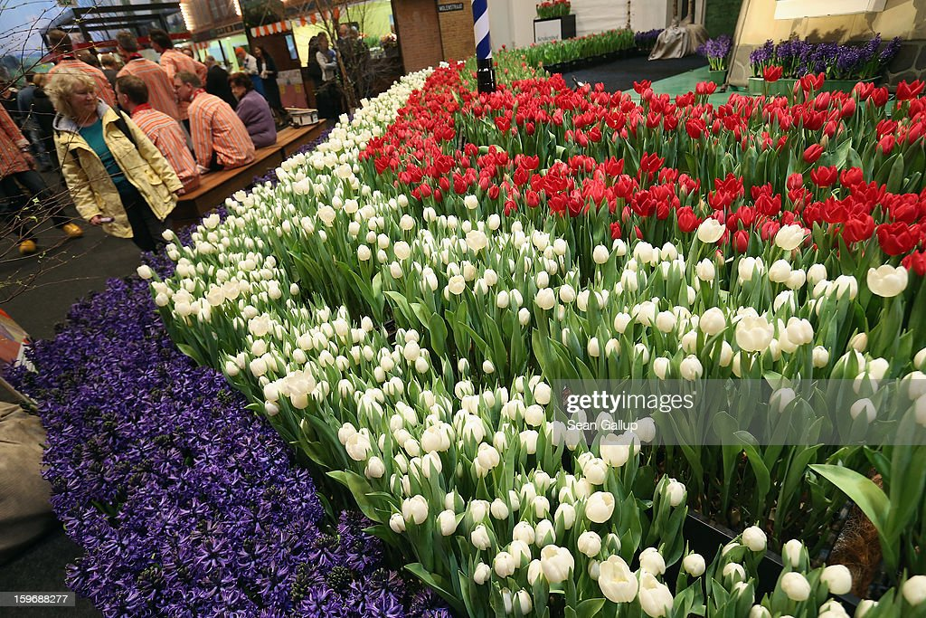 A visitor looks at Dutch tulips and other flowers at the Holland stand at the 2013 Gruene Woche agricultural trade fair on January 18, 2013 in Berlin, Germany. The Gruene Woche, which is the world's largest agricultural trade fair, runs from January 18-27, and this year's partner country is Holland.