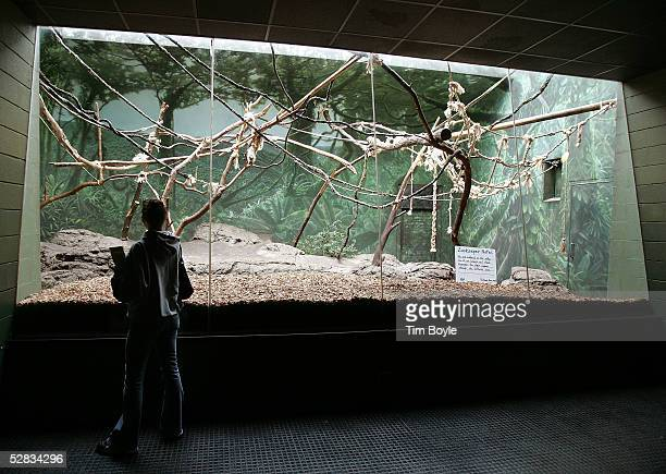 A visitor looks into an empty langur monkey cage at Lincoln Park Zoo May 16 2005 in Chicago Illinois Authorities are investigating the recent deaths...