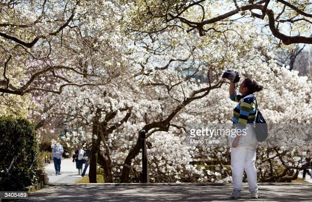 A visitor photographs cherry blossoms blooming in the Brooklyn Botanic Gardens April 16 2004 in New York City Springlike weather finally arrived in...