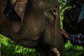 A visitor play with sumatran elephant walk in captivity elephantPeranggai Village Lahat South Sumatran Indonesia on July 11 2016 Based on data WWF...