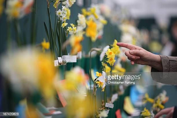A visitor points put some of the finer details of a daffodil display at the Harrogate Spring Flower Show on April 25 2013 in Harrogate England Over...