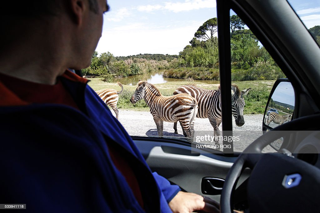 A visitor sitting in a vehicle looks at wander zebra in the grounds of the African Reserve (Réserve Africaine ) wildlife park in Sigean, southern France on May 24, 2016. / AFP / RAYMOND