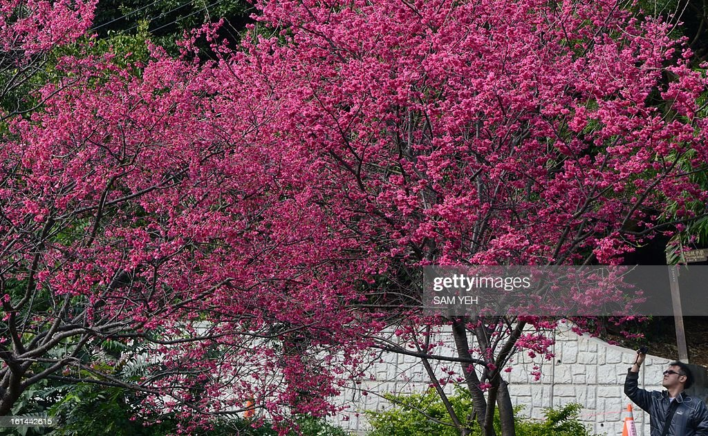 A visitor takes photographs of cherry blossom flowers in Peitou district in Taipei on the second day of the lunar new year on February 11, 2013. Chinese lunar new year, celebrated by Chinese communities the world over, falls on February 10 with the beginning of the new moon. AFP PHOTO / Sam Yeh