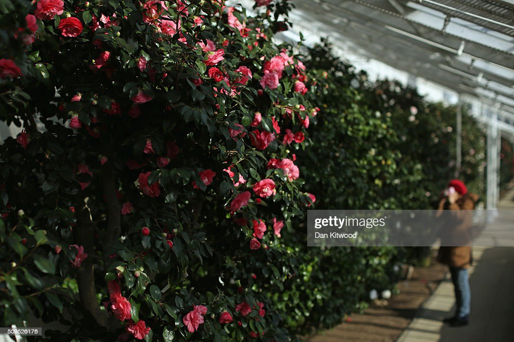 A visitor takes photographs of the Camellias in the conservatory at the Chiswick House Camellia Festival on February 11, 2016 in London, England. The Camellia Festival will take place in the Grade I listed conservatory from February 11 to March 23, 2016 and form part of the Chinese New Year celebrations. The 96 metre conservatory was designed by Samuel Ware for the Sixth Duke of Devonshire and completed in 1813.