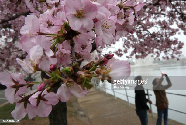 A visitor takes photos as cherry trees around Tidal Basin are in peak bloom March 27 2017 in Washington DC The blossoms survived after a late winter...