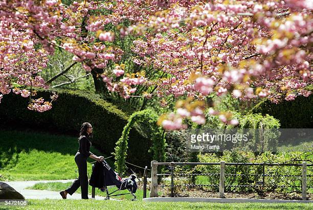A visitor walks beneath cherry trees during a press preview for Brooklyn Botanic Garden's Annual Sakura Matsuri Cherry Blossom Festival April 27 2004...