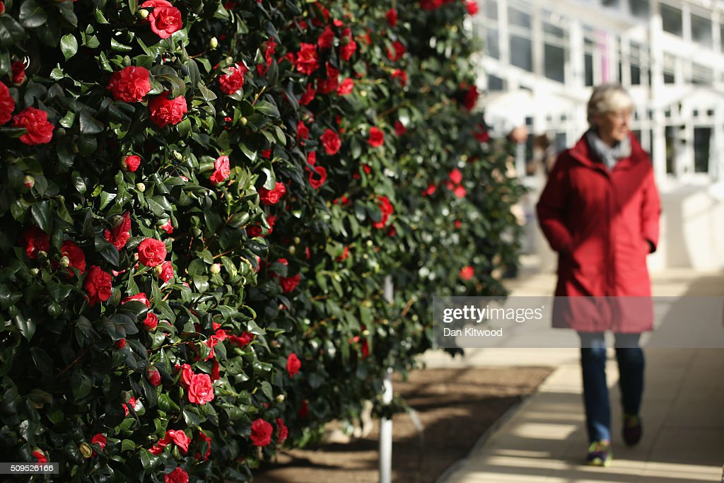 A visitor walks past Camellias in the conservatory at the Chiswick House Camellia Festival on February 11, 2016 in London, England. The Camellia Festival will take place in the Grade I listed conservatory from February 11 to March 23, 2016 and form part of the Chinese New Year celebrations. The 96 metre conservatory was designed by Samuel Ware for the Sixth Duke of Devonshire and completed in 1813.
