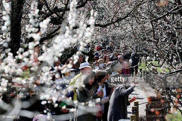 Visitors enjoy bloomed plums at Kairakuen Gardens on March 15 2016 in mito Ibaraki Japan