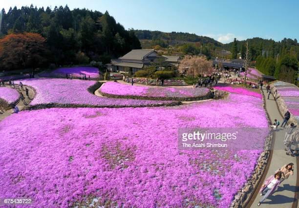 Visitors enjoy fully bloomed moss phlox at HananoJutan Park on April 29 2017 in Sanda Hyogo Japan