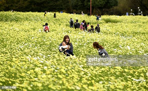 Visitors enjoy fully bloomed yellow cosmos at Showa Memorial Park on October 31 2016 in Tachikawa Tokyo Japan
