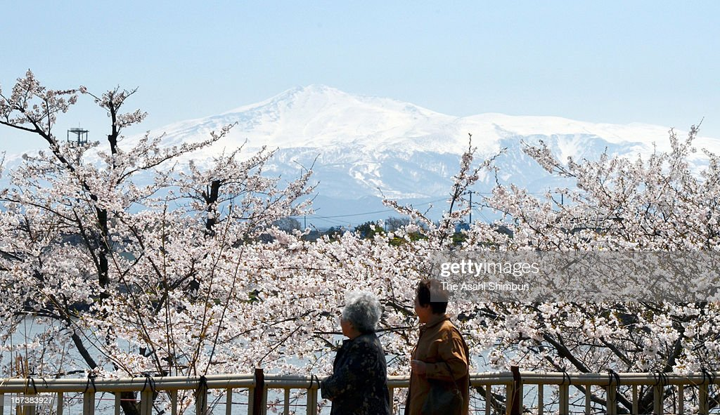 Visitors enjoy fully-bloomed cheery blossom with snow-capped Mount Chokai at Seishi Park on April 23, 2013 in Nikaho, Akita, Japan.