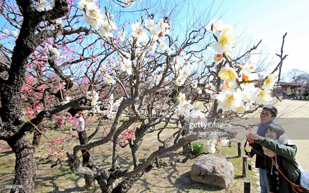Visitors enjoy plums blooming at Osaka Castle Park on February 8, 2013 in Osaka, Japan.