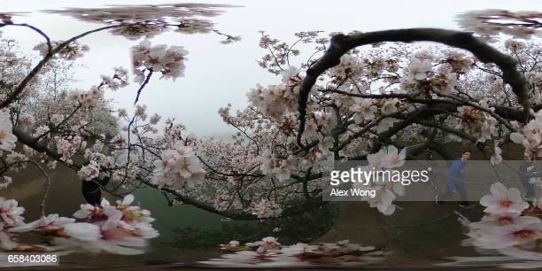 Visitors enjoy the blossoms as cherry trees around Tidal Basin are in peak bloom March 27 2017 in Washington DC The blossoms survived after a late...