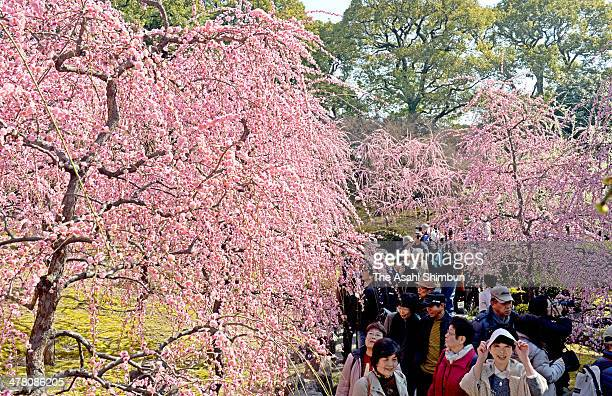 Visitors enjoy weeping plum in full bloom at Jonangu Shrine on March 12 2014 in Kyoto Japan Kyoto's highest temperature is 16 degrees as Kinki area...