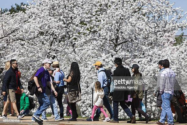 Visitors flood the National Mall to see the Cherry Blossoms in full bloom during the National Cherry Blossom Festival and Parade in Washington USA on...