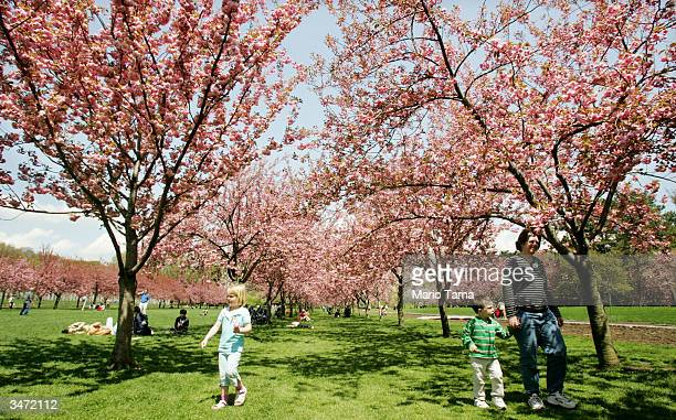 Visitors gather beneath cherry trees during a press preview for Brooklyn Botanic Garden's Annual Sakura Matsuri Cherry Blossom Festival April 27 2004...